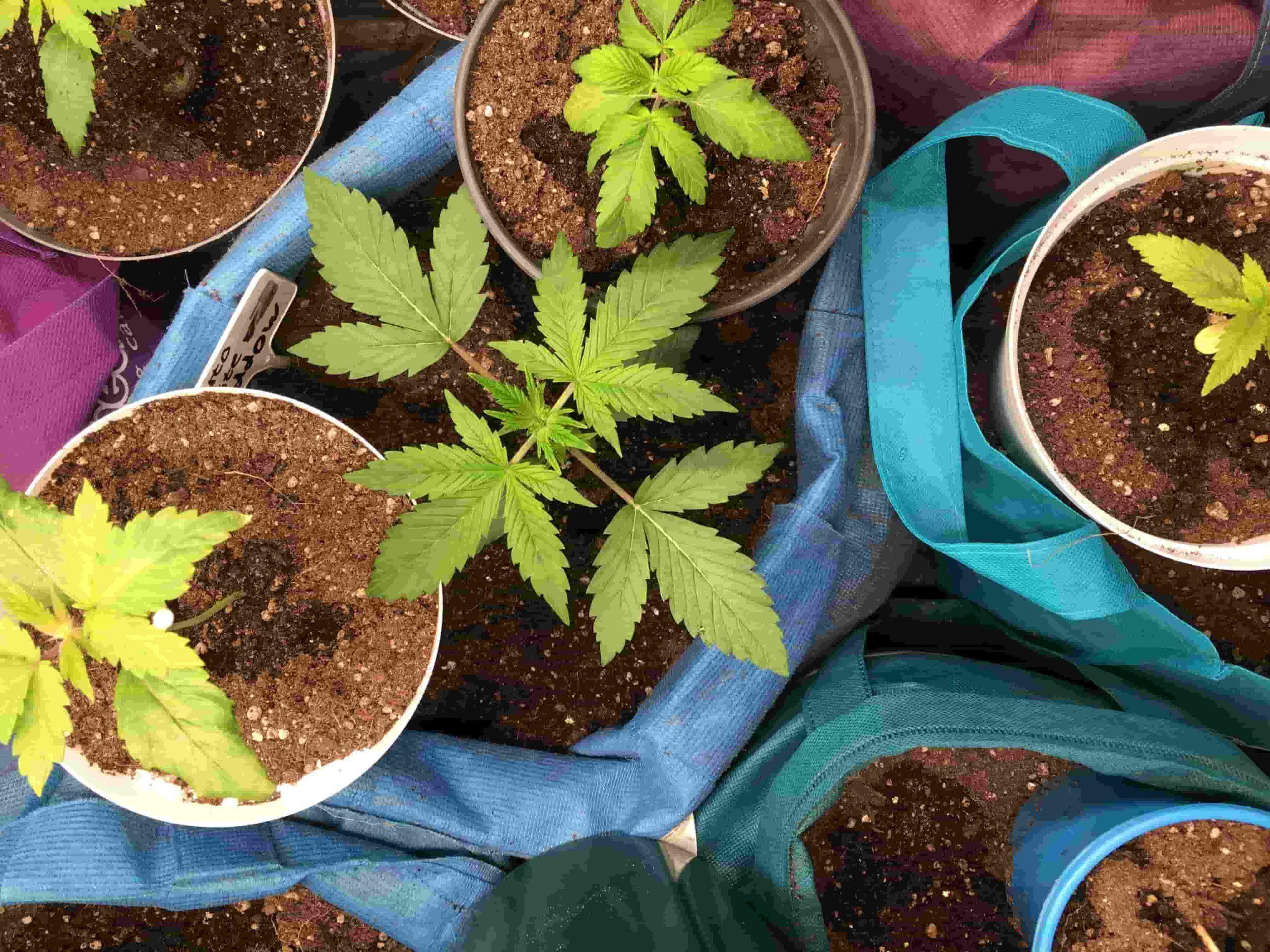 Cannabis_autoflower