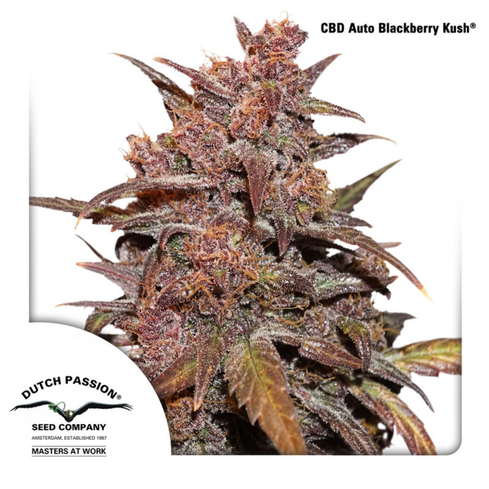 Dutch Passion – CBD Auto Blackberry Kush