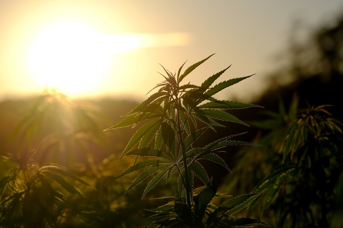 Cannabis in the sunshine