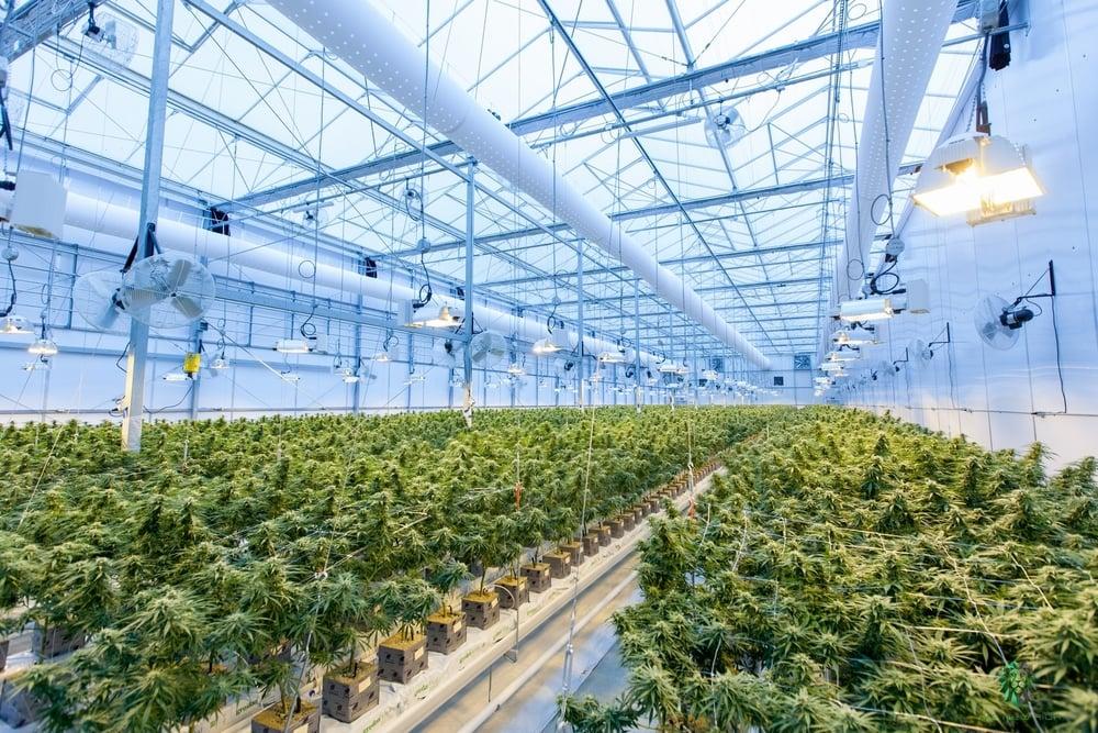 Cannabis grown with medical marijuana license