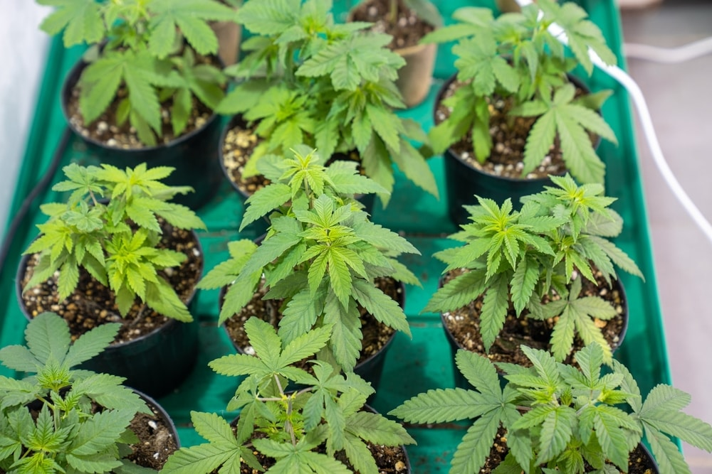 Growing cannabis plants at home in South Africa